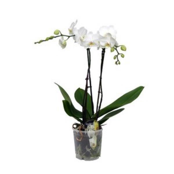 orchid 233 e blanche